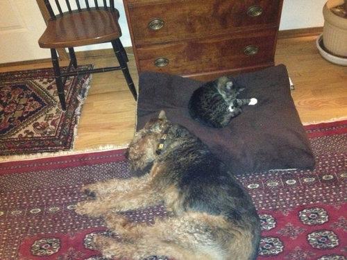 猫にベッドを奪われる犬たち23