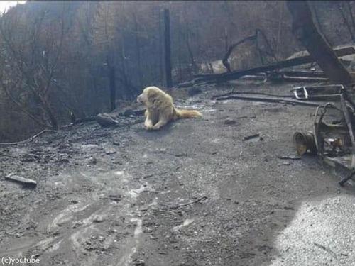 カリフォルニアの山火事を生き残った犬00