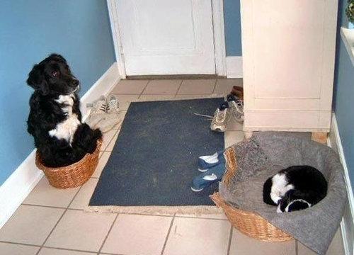 猫にベッドを奪われる犬たち13