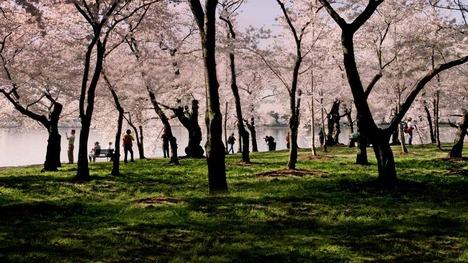 130320タイダルベイスンの桜@アメリカワシントンDC