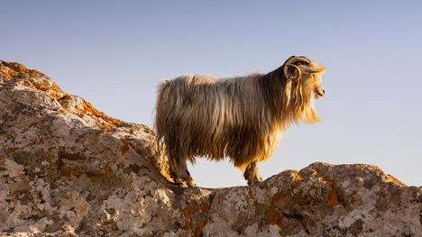 130928ミリナのヤギ@ギリシャ リムノス島