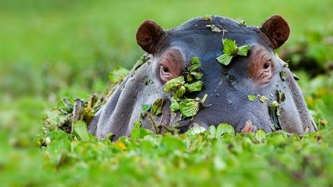 130711カバ@ケニア マサイマラ国立保護区