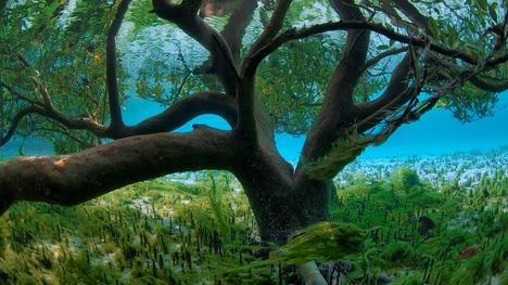 131109水面下のマングローブ@セイシェル アルダブラ環礁