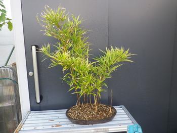 燦day毎日の徒然日記 : 竹(朱明竹)盆栽を作った。