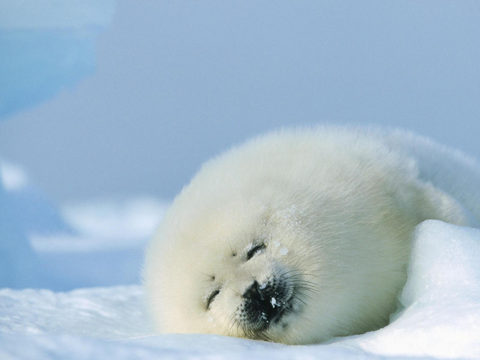 Cute Cartoon Seal Wallpaper Dies Irae 壁紙の記事 その2