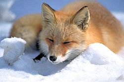 250px-Vulpes_vulpes_laying_in_snow