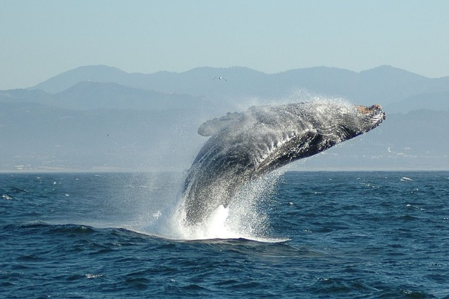 1200px-Jumping_Humpback_whale