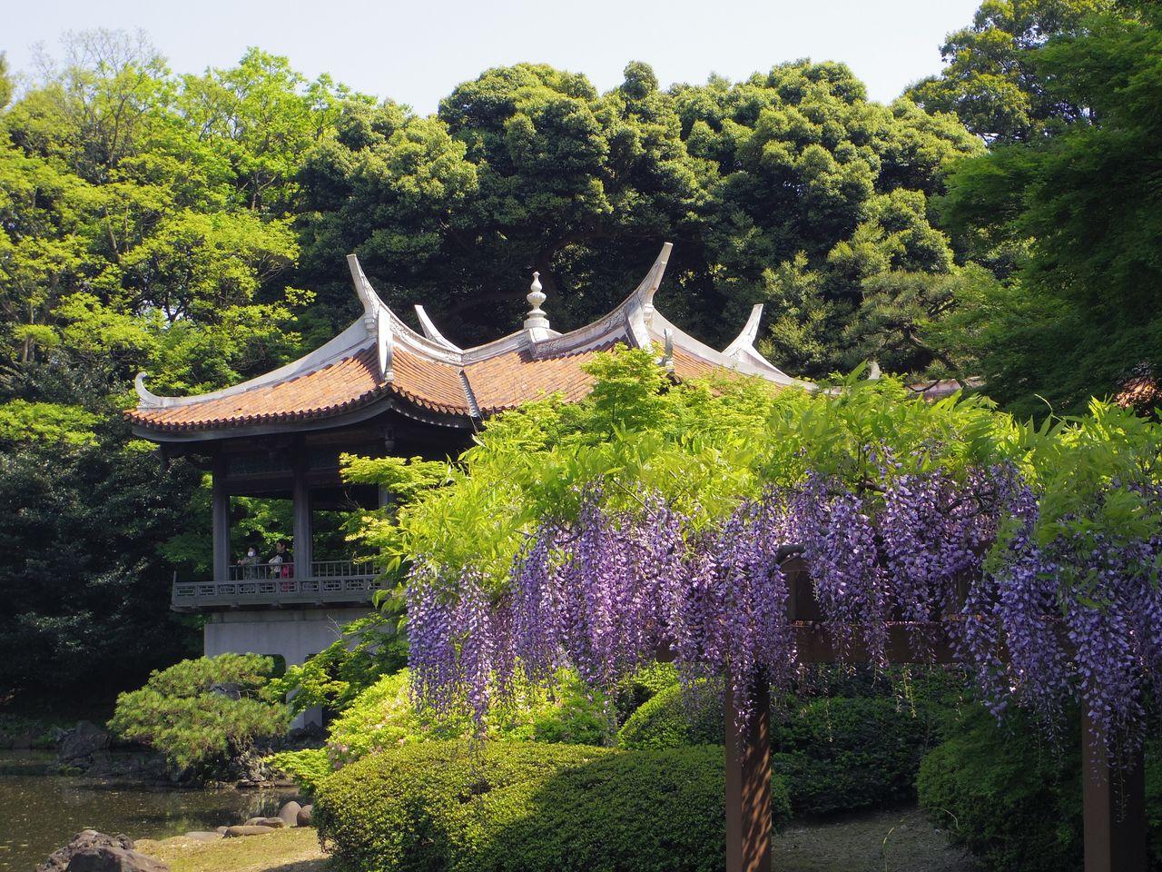 ぷらっとくんのブログ : 新宿御苑の藤の花とつつじ