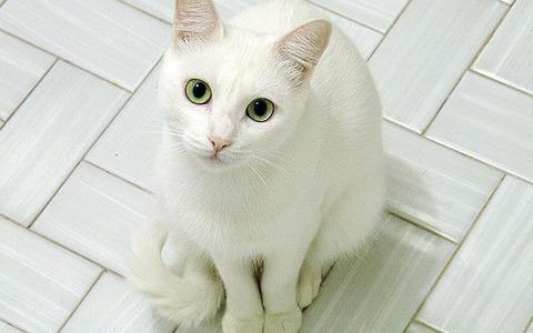 white-cat-green-eyes-640x400