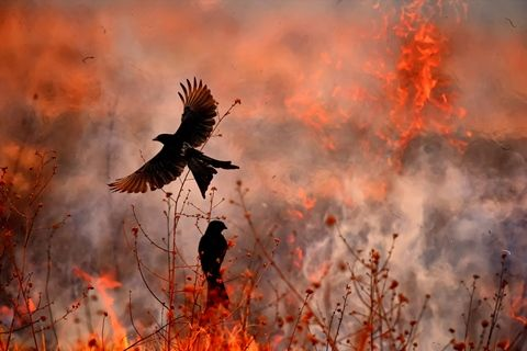 158be06d - 火を使い狩りをする鳥は何?生息場所と方法は