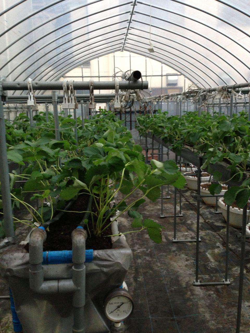 ホトトギス各種とイチゴの礫耕栽培 : t_kaichiroのblog