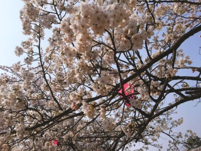 春です。桜です。新年度がスタートしました!