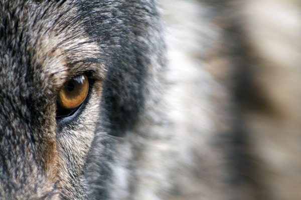 wolf-1352242_960_720