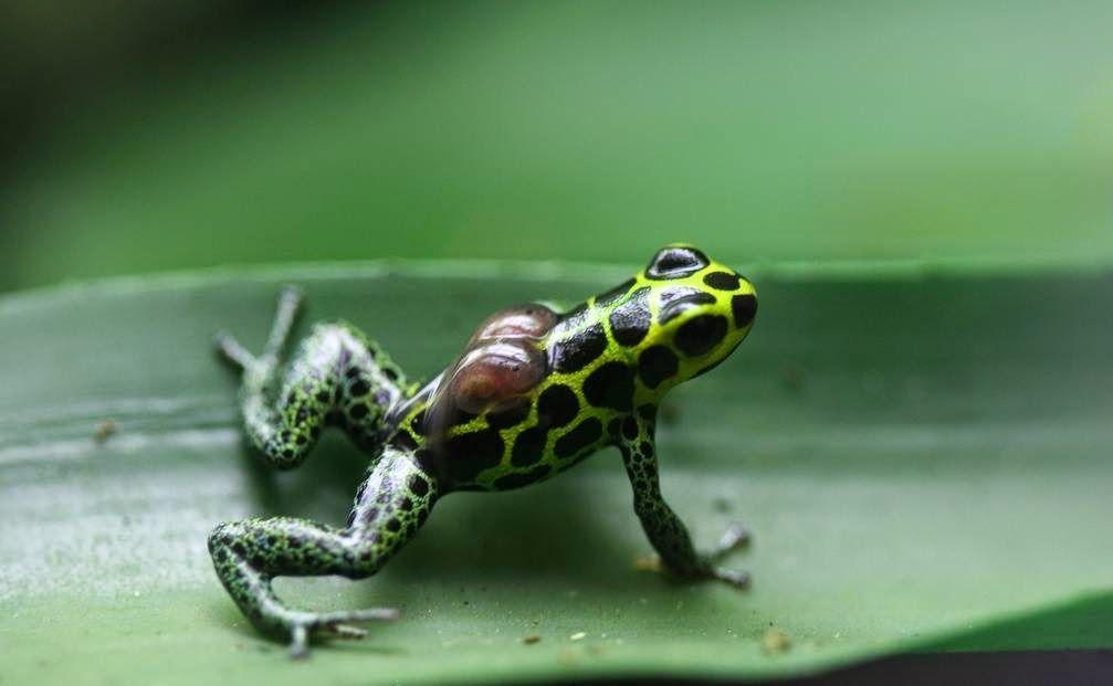 【カエルの不思議な子育て】「背中に子カエル乗せて~」えっさ,ほいさと木の上まで!ちょっと過保護な ...
