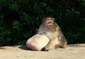 obese_monkey_10