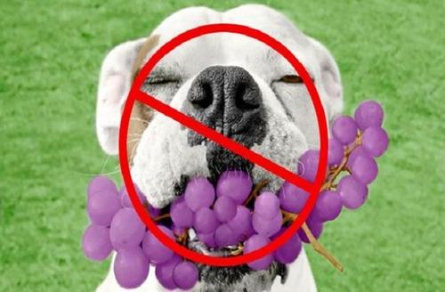 犬にブドウは与えないでください