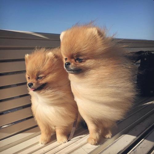 強風にたなびくポメラニアンが可愛さ3