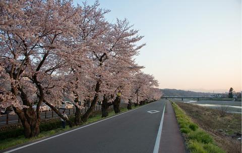 浅川土手の桜