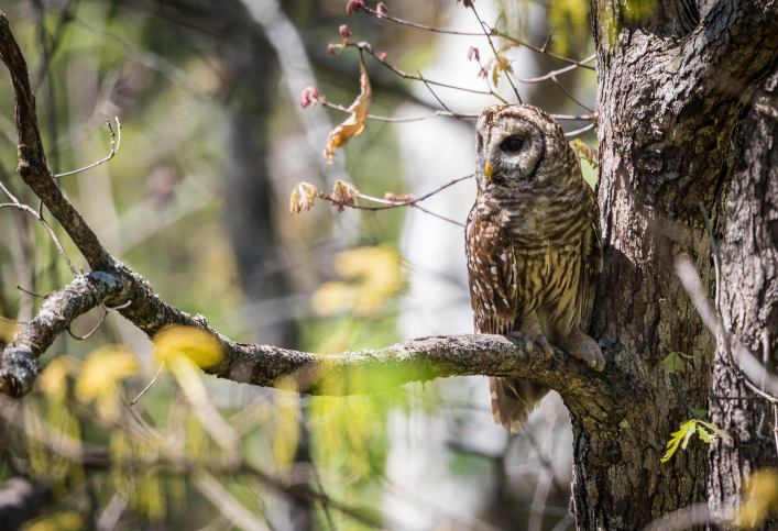 """Lindsey Donald's photo of """"Hoomama""""-- a female Barred Owl in Riverchase"""