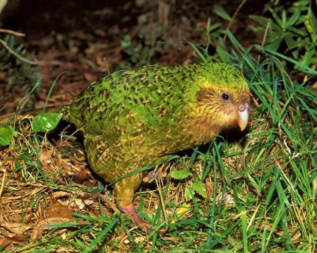 kākāpō - a strange Night Parrot