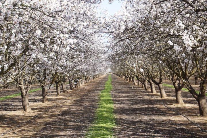 blossom trees at fresno