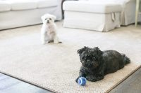 Awesome Pet Friendly Carpet   PetProof Carpet at The Home ...