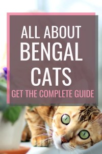 all about bengal cats #bengalcats #catbreed #bengal