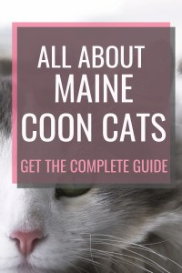 All About Maine Coon Cats #catfacts #cats101 #allaboutcats