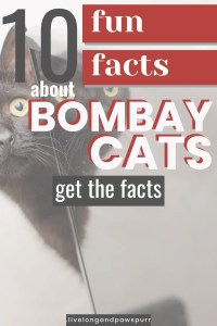 bombay cat facts #bombay #catfacts #catbreed #allaboutcats