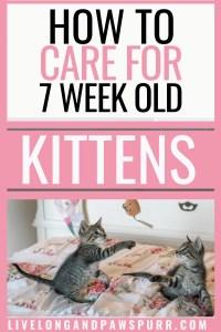seven week old kitten guide #allaboutsevenweekoldcats #allaboutcats #sevenweeksold #sevenweeks