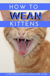 how to wean kittens off the bottle