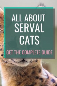 All About Serval Cats #catbreeds #servalcats #serval #allaboutcats