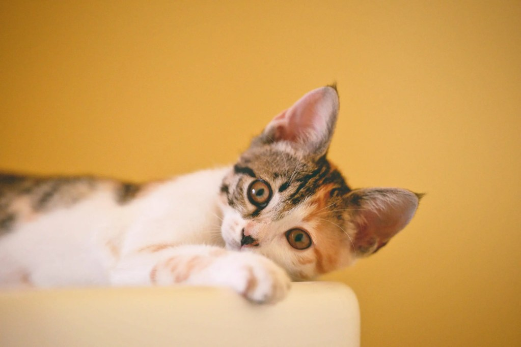 Every Detail About Calico Cats That You Need to Know