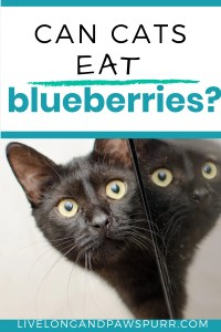 Can Cats Have Blueberriers? #cancatseat #catquestions #cathealth