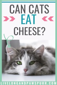 is cheese safe for cats