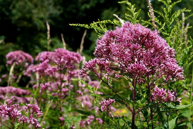 Joe-Pye Weed - Pale Pink and Purple Flowers