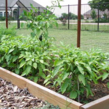Growing Jalapenos and Other Peppers From Seed