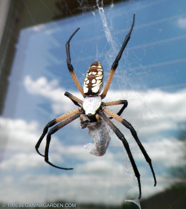 The black and yellow garden spider live love garden for What does a garden spider look like