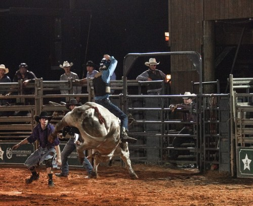 Bull riding at Westgate River Ranch rodeo