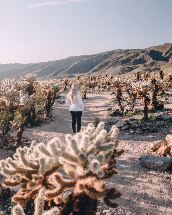 Near sunrise in the Cholla Cactus Garden in Joshua Tree National Park. Joshua Tree is the perfect stop on a road trip or for a one day stop, so here is a one day itinerary of all the spots you don't want to miss!