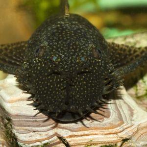 Анциструс, сом-присоска (Ancistrus dolichopterus)