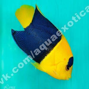 Ангел двухцветный, центропиг сине-желтый (Centropyge bicolor)
