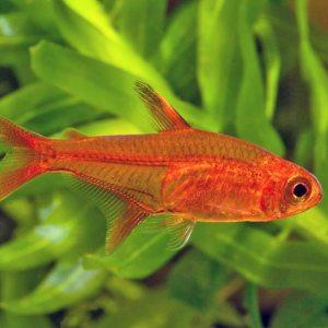 Тетра аманда (Hyphessobrycon amandae)