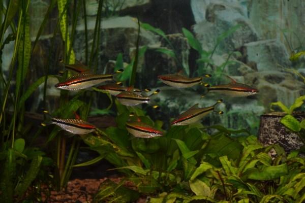 Барбус денисони (Puntius denisonii)