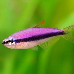Фиолетовый неон, керри (Inpaichthys kerri)