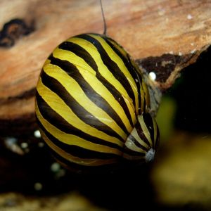 Улитка зебра неретина (Neritina natalensis)