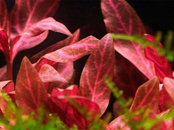 Альтернантера розанервиг (Alternanthera rosanervig)