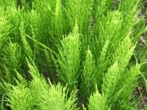 Equisetum Arvense Extract