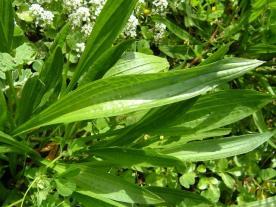 plantago_lanceolata_ribwort_plantain_leaf_05-05-05