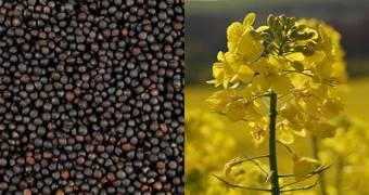 canola-and-its-seeds